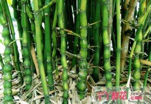 佛肚竹竹枝扦插繁殖技术