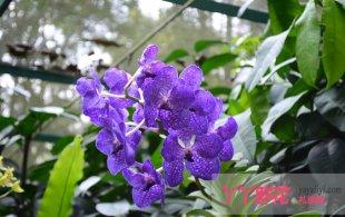 蝴蝶兰的繁殖和养护技巧