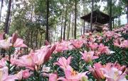 里水镇第五届百合花文化艺术节出行提醒