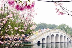 """广州:首届""""樱花与古建筑欣赏节""""日前开幕"""