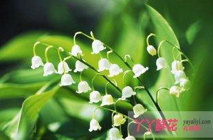 铃兰花的传说是什么