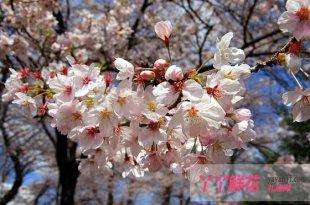 樱花的作用,樱花的四大用途