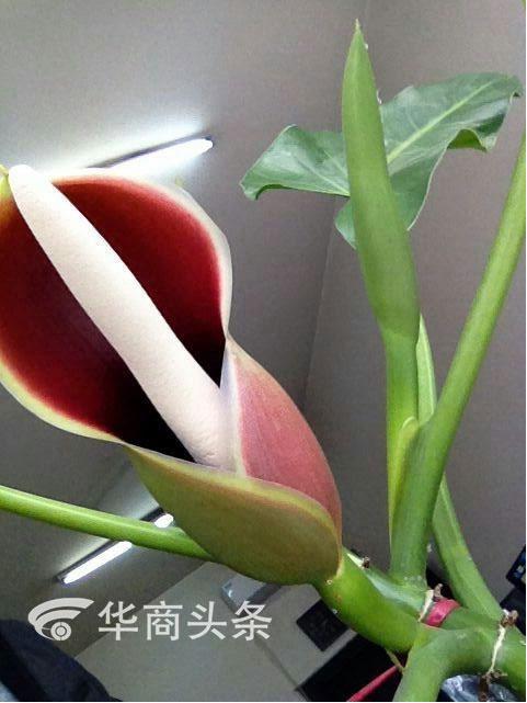 渭南养花人绿萝种了三年 开出三朵花 好惊喜啊!