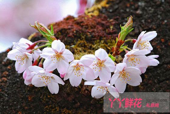 樱花有哪些分类?