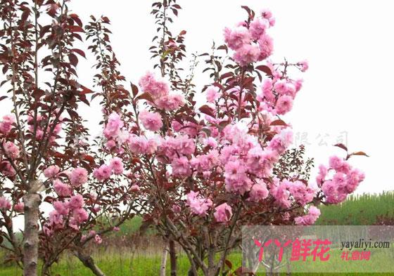 樱花的栽培技术