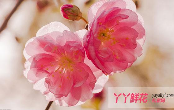 樱花/樱花
