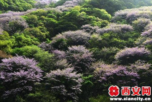 西安太平国家森林公园4月紫金花绽放