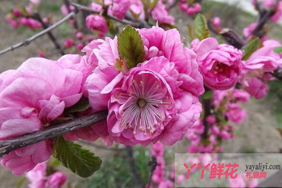 东京樱花的繁殖方式