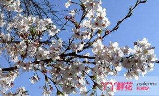 东京樱花的栽培技术