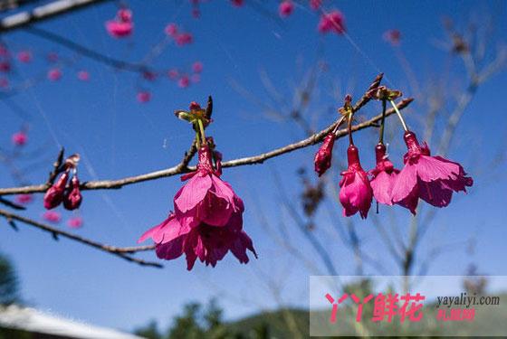 山樱花的繁殖方式