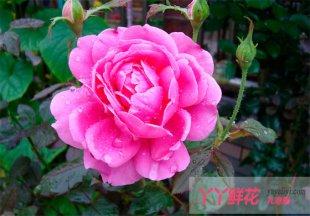 月季花的开花条件