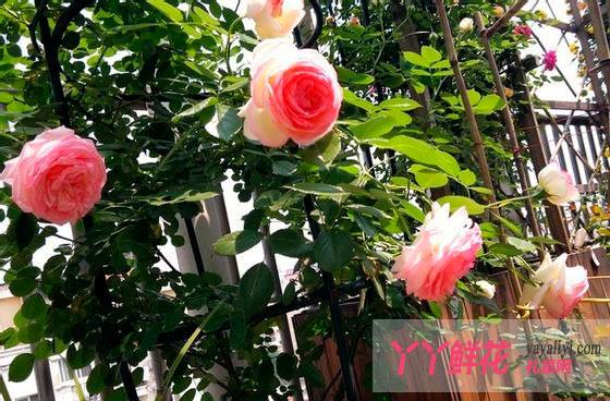 月季盆栽的种类,盆栽月季适合选择哪些种类?
