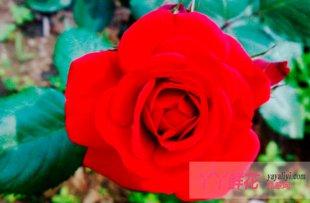 红月季花语是什么?
