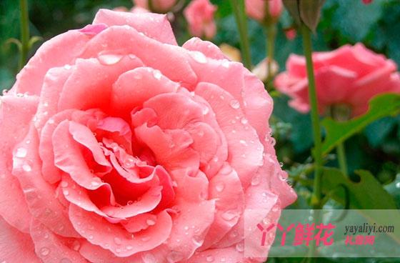 粉红月季花语是什么?
