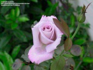 蓝紫色月季花语是什么?