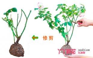 盆栽月季的修剪技巧