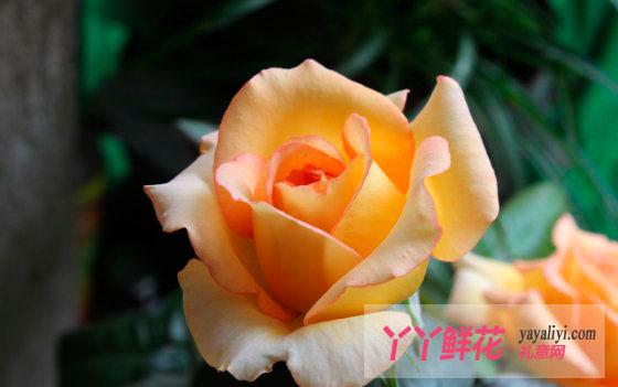 黄色月季花语是什么?
