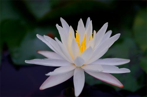 白天开花的热带睡莲中,它们叶片在长大和成熟过程中,叶脐突起长出小苗