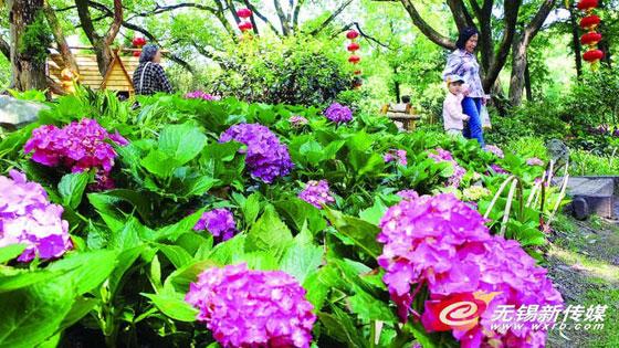 无锡绣球花展5月18日起开幕 3万盆鲜花迎游客