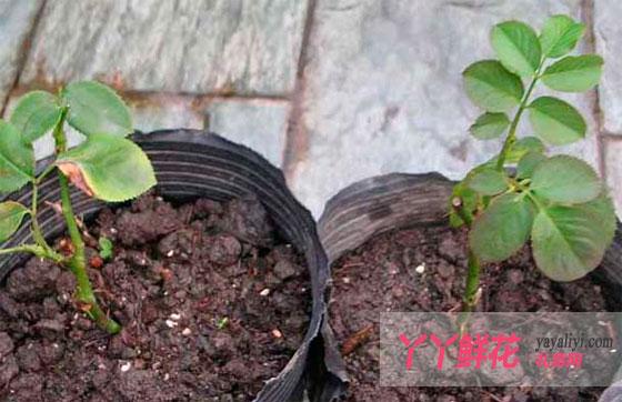 中国是月季花的原产地之一。在中国主要分布于湖北、四川和甘肃等省的山区,尤以上海、南京、南阳、常州、天津、郑州和北京等市种植最多。月季花对气候、土壤要求虽不严格,但以疏松、肥沃、富含有机质、微酸性、排水良好的的壤土较为适宜。常见的月季花的繁殖方式有嫁接法,播种法,分株法,扦插法,压条法五种繁殖方式。