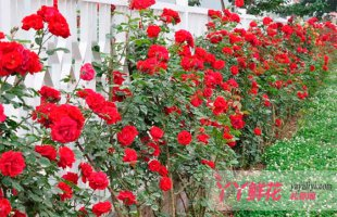 月季花的栽培技术