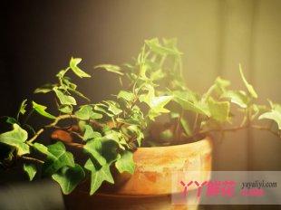 常春藤的花语及象征意义