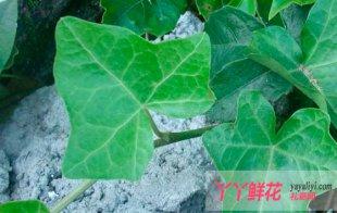 常春藤的主要作用及价值
