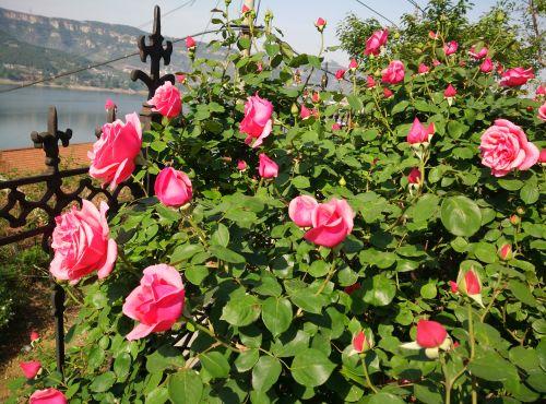 济南实拍:惊艳!一株月季花竟开出200多个花朵