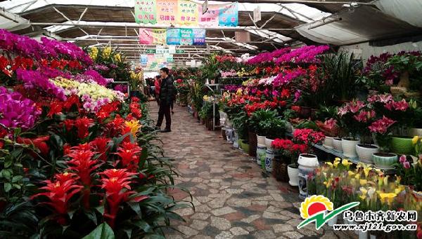 乌鲁木齐:临近春节鲜花市场人头攒动 地产年宵花价格亲民