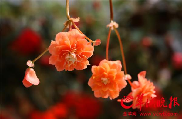 广州南沙百万葵园内鲜花盛放 游人陶醉大呼过瘾