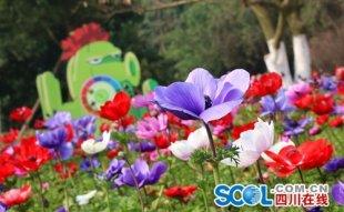 成都春花展3月5日开幕 40色系鲜花等你来赏