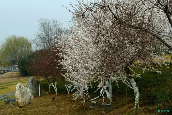 初春赏花灞水边--西安春暖花开