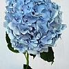 浅蓝色绣球花