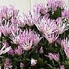 粉面线小菊