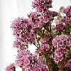 粉色維多梅