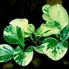 花叶豆瓣绿
