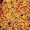 智利猴面花
