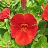 红花猴面花