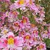 杂种蛾蝶花
