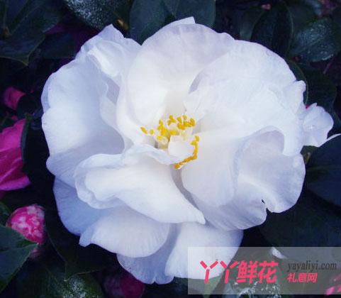 花中珍品山茶花的花语