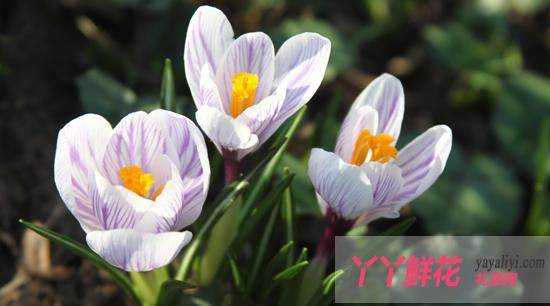 藏红花的花语图片