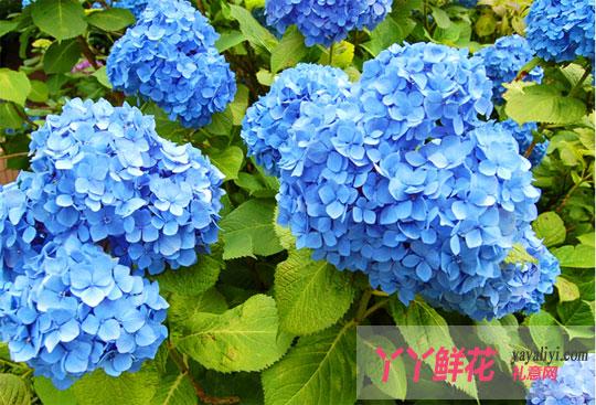 绣球花的搭配:   1,雪山之舞(1枝浅蓝色绣球花 19枝雪山玫瑰)   19枝