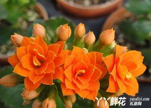 长寿花的花语和历史传说是什么?