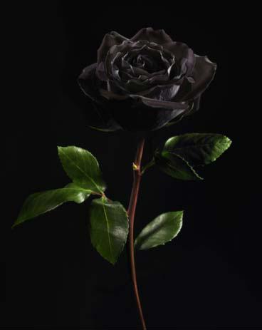黑色玫瑰手机壁纸竖屏