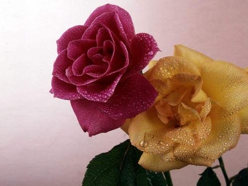 玫瑰花朵数的含义以及玫瑰花语