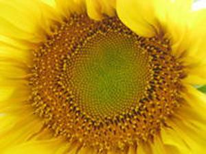 向日葵的花语及传说是什么?