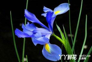 蓝色鸢尾花的传说