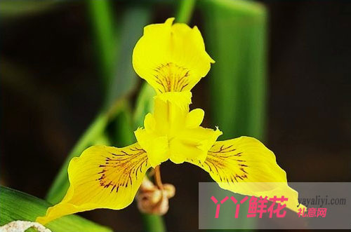 黄色鸢尾花的花语及传说