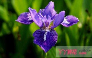 紫色鸢尾花的花语及传说是什么
