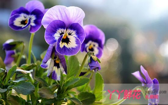 紫色三色堇的花语及传说是什么